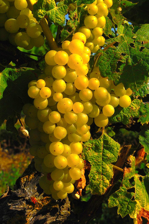Villa Bel Air - Des vignes sur l'île de Ré
